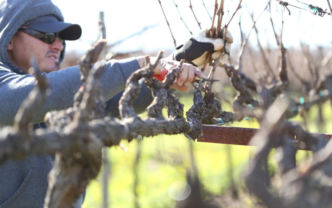 Vineyard Management Pruning