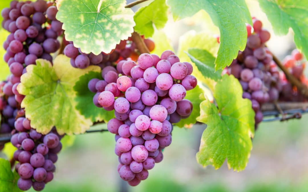 Veraison-in-the-vineyards